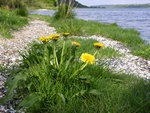 Dandelion (Taraxacum sp.)
